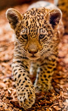 Leopards - the smallest members of the group of big cats, they are ahead of jaguars, lions and tigers, leopards average growth to shoulder about 70 centimeter Beautiful Cats, Animals Beautiful, Big Cats, Cats And Kittens, Siamese Cats, Baby Leopard, Leopard Cub, Snow Leopard, Gato Grande