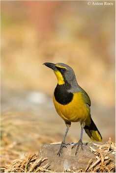 The Bokmakierie (Telophorus zeylonus) is a bushshrike. This family of passerine birds is closely related to the true shrikes in the family Laniidae, and was once included in that group. This species is endemic to southern Africa, mainly in South Africa and Namibia, with an isolated population in the mountains of eastern Zimbabwe and western Mozambique.