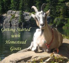Homestead Goats - What breed should you choose? Five Popular Dairy Goat Breeds for the Homestead. Basic goat care - What Do You Need to Raise Goats? Raising Farm Animals, Raising Goats, Keeping Goats, Female Goat, Starting A Farm, Happy Goat, Goat Care, Goat Farming, Baby Goats