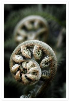 You must look very closely at a fern to see this well, a passing glance simply will not do.