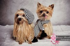 dressed up yorkies - My Yahoo Search Results
