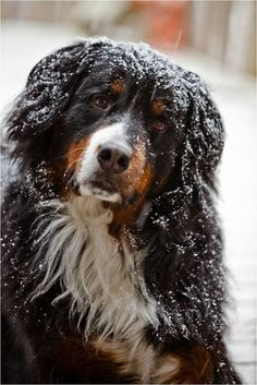 ...Monty, a Bernese mountain dog from St. Clair Shores, Michigan...