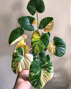 Rare Plants, Exotic Plants, Tropical Plants, Small Indoor Plants, Cool Plants, Planting Succulents, Planting Flowers, Belle Plante, Variegated Plants
