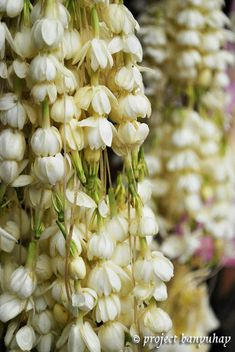 Sampaguita. a beautiful scented, national flower.