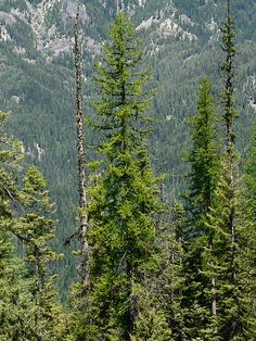 Larix occidentalis. Western Larch