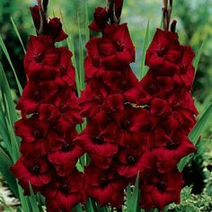 SCARLET RED GLADIOLAS, I just bought a BUNCH of these bulbs to plant this week. Can't wait to see them bloom.