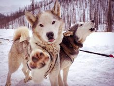 Huskies. Dogsledding in Alaska.
