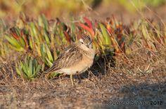 Borrelho-ruivo (Eudromias morinellus)   Flickr - Photo Sharing!