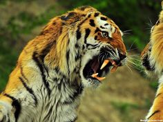 Image uploaded by tiago. Find images and videos about animal, wild and tiger on We Heart It - the app to get lost in what you love. Tiger Wallpaper, Animal Wallpaper, Hd Wallpaper, Wallpaper Maker, Black Wallpaper, Nature Wallpaper, Wild Photography, Animal Photography, Color Photography