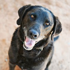 Labrador Retriever named Lincoln is available for adoption at Best Friends Sanctuary in Kanab, Utah   Best Friends Animal Society