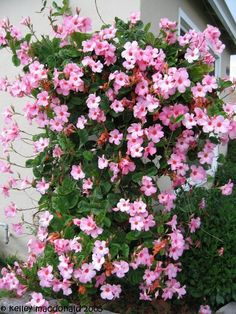 Fast growing vine for summer color - Mandevilla 'Alice Dupont'. I grow these in patio containers (zone 5 - treated as annuals). Have not tried to over-winter them. Very showy!
