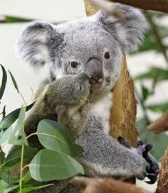 Koala Kisses! <3