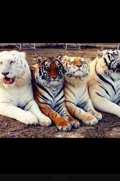 The beautiful race of tigers