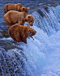 The perfect shot of three bears catching fish is displayed beautifully on the West of the Wind Nice Catch Indoor/Outdoor Canvas Art . Katmai National Park, National Parks, King Salmon, Bear Theme, Hanging Canvas, Brown And Grey, Canvas Art, Indoor Outdoor, Outdoor Living