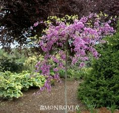 Lavender Twist Weeping Redbud ~ See the Plant Information Index for more detail. Lavender Twist We Back Gardens, Small Gardens, Outdoor Gardens, Water Gardens, Landscaping Plants, Front Yard Landscaping, Landscaping Ideas, Trees For Front Yard, Front Yards