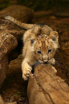 "Lion Cub: ""Wow! My very own scratching post!"""
