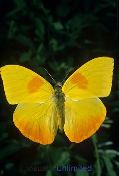 Orange-barred Sulfur Butterfly (Phoebis philea).