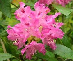 Rhododendron Smirnowii-gruppen 'Unelma', Rhododendron. Höjd: 1,5 m. Zon IV.