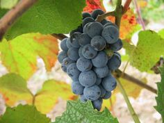 vyraschivanie-vinograda-amurskii.jpg (800×600)
