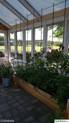 trädgård,tomater,växthus,gamla fönster,armeringsjärn
