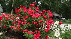 Rugosa roses-Explorer Series George Vancouver. Grows rose hips, plant in spring.