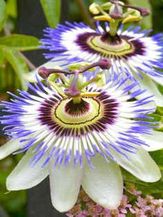 Passion flower.  Exotic flowers like these don't have to be limited to tropical gardens.  A vigorous perennial vine that climbs via tendrils, the passion flower can be a conversation piece in the garden.
