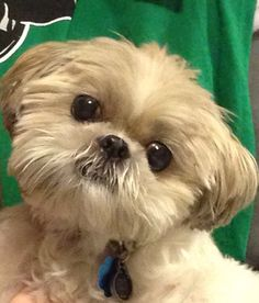 Shih tzu. Oh my goodness, we aren't the only ones that have one of these!