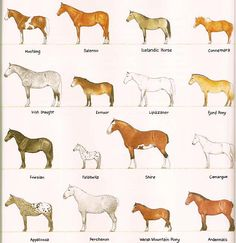 Breeds Horses comme in many breeds. The shortest in the Falabella horse. It can be smaller than a St. Draft horses are the biggest breed of horse. Draft Horse Breeds, Draft Horses, Breyer Horses, Different Horse Breeds, Types Of Horses, Falabella Horse, Pony Breeds, Horse Markings, Fjord Horse