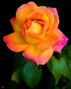 A Beautiful Arundel Rose by Chris Lord by shmessa
