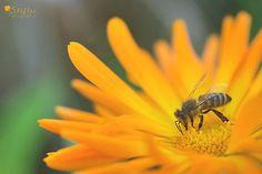 Ein kleiner Fototipp zur Bildgestaltung, der Deine Fotografie verbessern kann... Insects, Bee, Animals, Pictures, Photo Tips, Honey Bees, Animales, Animaux, Bees