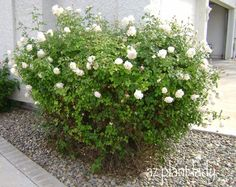 This is a story about an old, overgrown, nameless rose bush. This poor rose hadn't…