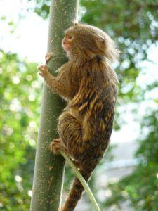 Pygmy marmoset (Cebuella pygmaea) climbing tree in London Zoo. Marmoset Monkey, Pygmy Marmoset, Primates, Mammals, New World Monkey, Types Of Monkeys, Slow Loris, Cute Monkey, Baboon
