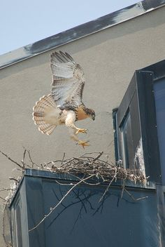 Hawks at an office building on the Alewife Brook Parkway near Fresh Pond (2010)