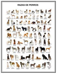 Razas de perros - Poster