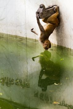 Narcissus | Monkey staring at his reflection