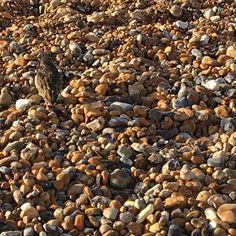 #haikuoftheday  Among beach stones a stone-coloured bird not quite unseen.  #haiku #hastings #creativemoments #poetsofinstagram
