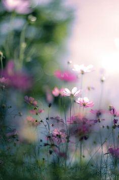 Wild Flowers | Cosmos Flowers