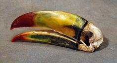 Skull of toucan #focusinternetservices
