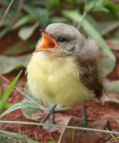 Tyrannus melancholicus  -  Tropical Kingbird nestling | Flickr - Photo Sharing!