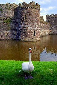 Wales,castle and swan