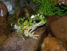 Image result for garden frog