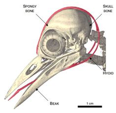 A wood peckers tongue wraps around it's skull.
