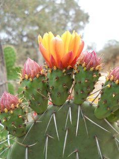 Flor de una Opuntia (NOPAL) pa los que sólo conocen ese nombre... tomada con una Nikon d 12 MP ;)
