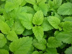 Lemon Balm--- mosquitoes hate it! rub some on the skin before gardening. plus! it's the secret ingredient in my the crazzy sallt!