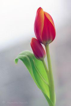 in March - Tulpen Purple Tulips, Tulips Flowers, Exotic Flowers, Amazing Flowers, Pretty Flowers, Spring Flowers, Planting Flowers, Cactus Flower, Flowers Garden