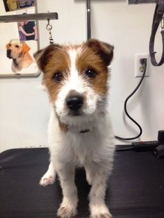 Opie the Jack Russell Terrier (Parson Russell Terrier) / Wirehaired Fox Terrier / Mixed (short coat) Photo