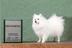 Japanese Spitz temperament is exclusive. The breed is quite spirited and intelligent. They typically show playful character traits and stay alert.