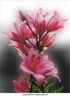 ** Azalka zahradní rúžová **
