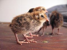 Quail Chicks - Great page about quails