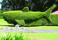 Dana Freeborn   Community contributor  A whale Ñ a topiary whale hedge, that is Ñ was spotted Wednesday in a Waimea residential neighborhood.